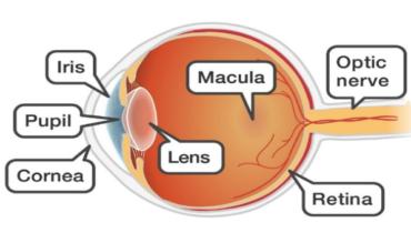องค์ประกอบของตา (Anatomy of eye)